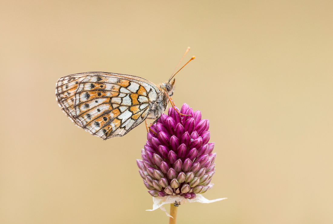 Twin Spotted Fritillary
