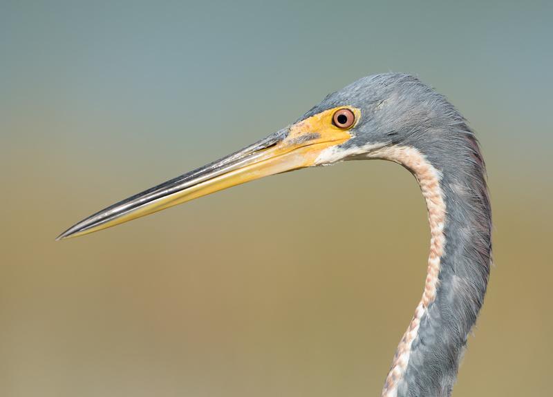 Tri-coloured Heron