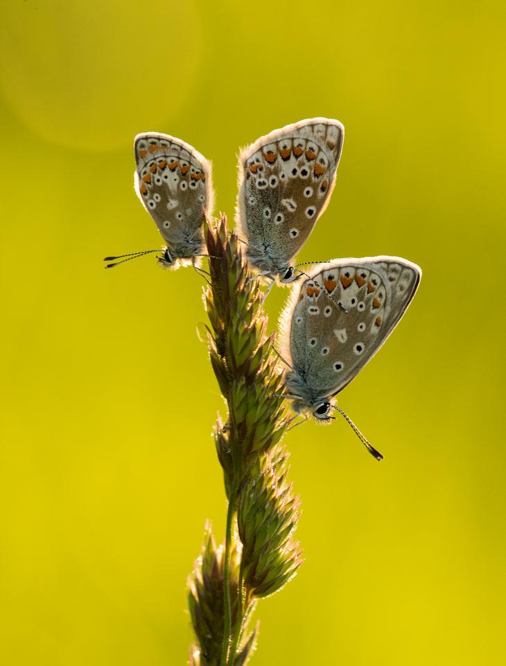 Brown Argus (L) & Common Blues (R)