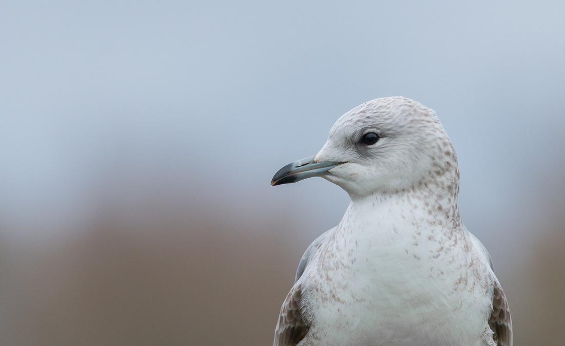 Common Gull (juvenile)