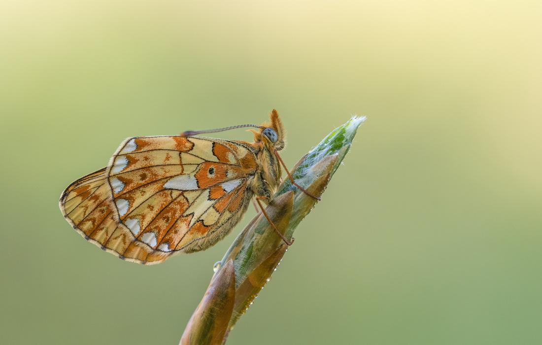 Pearl-borderd Fritillary